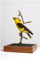 Golden oriole (Oriolus oriolus). This is an adult male golden oriole. It spends its breeding season and summer in Europe and winter in Africa.