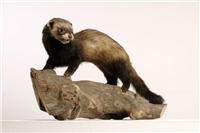 European polecat (Mustela putorius). This is an adult male polecat that was killed on the road by Brandon Hill, Warwickshire in 1990.