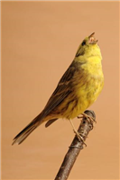Yellowhammer (Emberiza citrinella). This is a male bird and these are much brighter in colour than the females.