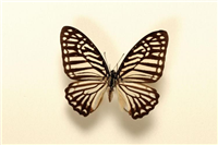 Great zebra swallowtail butterfly (Graphium xenocles). The great zebra swallowtail butterfly is common in south east Asia. This specimen was collected in Thailand and is part of the Greenwood collection.