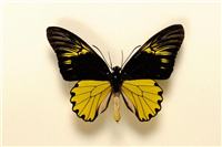 Malay birdwind butterfly ( Troides a. amphrysus). The specimen is from West Java, Indonesia. It lives in rainforests and feeds on flowering trees and bushes. This specimen is from the Greenwood collection.