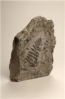 Fossil plant (Mariopteris nervosa). Found in a Warwickshire coal mine, this fossil although it resembles a fern actually comes from a tree which lived 300 million years ago in the swamps where Coventry is today.